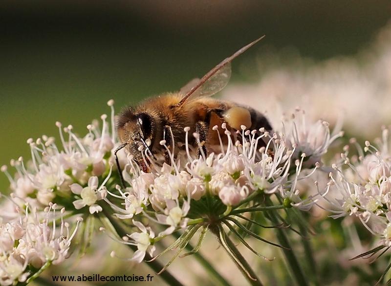 nucleus ruche warre