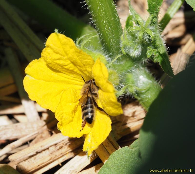 Onobrychis viciifolia Sainfoin 30 graines hiver Dur Fleur Sauvage abeilles Pâturage